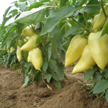 PROFI, Zelenina SEMO - Paprika roční Amy, p2510 (Capsicum annuum L.)