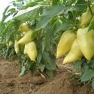 PROFI, Zelenina SEMO – Paprika roční Amy, p2510