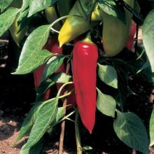 PROFI, Zelenina SEMO - Paprika roční Lydia, p2511 (Capsicum annuum L.)