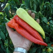 PROFI, Zelenina SEMO - Paprika roční Semaroh, p2514 (Capsicum annuum L.)