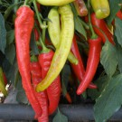 PROFI, Zelenina SEMO – Paprika roční Semaroh, p2514
