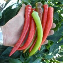 PROFI, Zelenina SEMO - Paprika roční Pálivec, p2516 (Capsicum annuum L.)