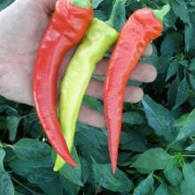 PROFI, Zelenina SEMO - Paprika roční Ohnivec, p2518 (Capsicum annuum L.)