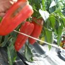 PROFI, Zelenina SEMO – Paprika roční Raduza F1, p2526
