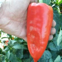 PROFI, Zelenina SEMO - Paprika roční Rafaela F1, p2527 (Capsicum annuum L.)