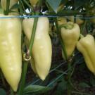 PROFI, Zelenina SEMO – Paprika roční Superamy F1, p2528