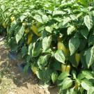 PROFI, Zelenina SEMO – Paprika roční Amyka F1, p2529