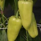 PROFI, Zelenina SEMO – Paprika roční Ostry F1, p2530