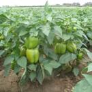 PROFI, Zelenina SEMO – Paprika roční Saskia F1, p2532