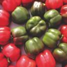 PROFI, Zelenina SEMO – Paprika roční Rubika F1, p2533