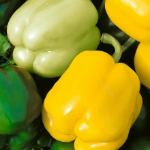 PROFI, Zelenina SEMO - Paprika roční Gelby F1, p2535 (Capsicum annuum L.)