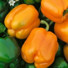 PROFI, Zelenina SEMO - Paprika roční Oreny F1, p2536 (Capsicum annuum L.)