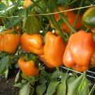 PROFI, Zelenina SEMO – Paprika roční Oreny F1, p2536