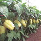 PROFI, Zelenina SEMO – Paprika roční Kvadry F1, p2537