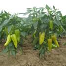 PROFI, Zelenina SEMO – Paprika roční Lungy F1, p2538
