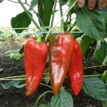 PROFI, Zelenina SEMO - Paprika roční Radmila F1, p2539 (Capsicum annuum L.)