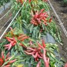 PROFI, Zelenina SEMO – Paprika roční Karkulka, p2541