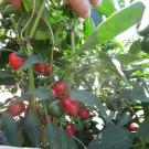 PROFI, Zelenina SEMO – Paprika roční Korál, p2551