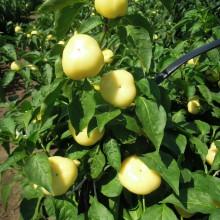 PROFI, Zelenina SEMO - Paprika Pálinda F1 - pálivá, p2578 (Capsicum annuum L.)
