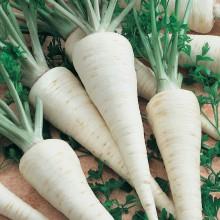 PROFI, Zelenina SEMO - Petržel zahradní kořenová Atika, p3004 (Petroselinum crispum (Mill.) Nym.convar.radicosum (Alef.) Danert)