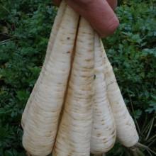PROFI, Zelenina SEMO - Petržel zahradní kořenová Jadran, p3005 (Petroselinum crispum (Mill.) Nym.convar.radicosum (Alef.) Danert)