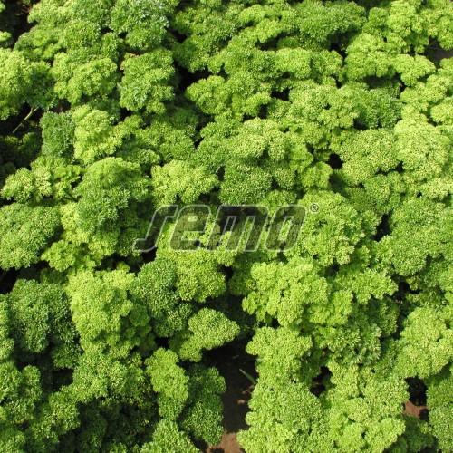 PROFI, Zelenina SEMO - Petržel zahradní naťová Marunka, p3054 (Petroselinum crispum (Mill.) Nym.ex A.W.Hill convar.vulgare (Nois) Danert)