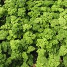 PROFI, Zelenina SEMO – Petržel zahradní naťová Marunka, p3054