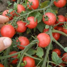 PROFI, Zelenina SEMO - Rajče keříčkové Rubínek, p3118 (Lycopersicon esculentum Mill.)