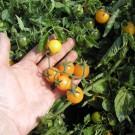 PROFI, Zelenina SEMO – Rajče keříčkové Minigold, p3119