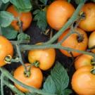 PROFI, Zelenina SEMO – Rajče keříčkové Oranže, p3120