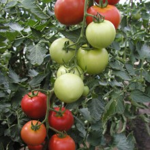 PROFI, Zelenina SEMO - Rajče tyčkové Torino F1, p3211 (Lycopersicon esculentum Mill.)