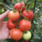 PROFI, Zelenina SEMO – Rajče tyčkové Torino F1, p3211