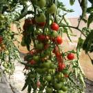 PROFI, Zelenina SEMO – Rajče tyčkové Bejbino F1, p3221