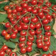 PROFI, Zelenina SEMO - Rajče tyčkové Mini, p3275 (Lycopersicon esculentum Mill.)