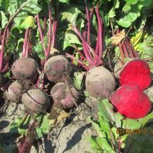 PROFI, Zelenina SEMO - Řepa salátová Betina, p3501 (Beta vulgaris L.var.conditiva Alef.)