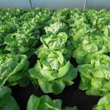 PROFI, Zelenina SEMO - Salát hlávkový Neferin, p3750 (Lactuca sativa L. var.capitata L.)