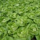 PROFI, Zelenina SEMO – Salát hlávkový Neferin, p3750