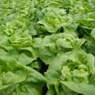 PROFI, Zelenina SEMO – Salát hlávkový Brilant, p3762