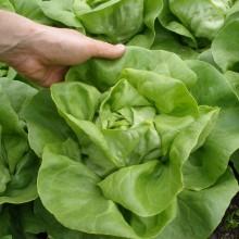PROFI, Zelenina SEMO - Salát hlávkový Citrin, p3764 (Lactuca sativa L. var.capitata L.)