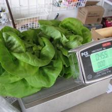 PROFI, Zelenina SEMO - Salát hlávkový Bremex, p3765 (Lactuca sativa L. var.capitata L.)