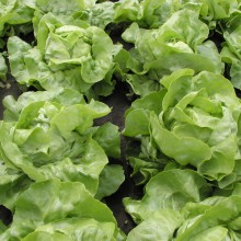 PROFI, Zelenina SEMO - Salát hlávkový Maršálus, p3828 (Lactuca sativa L. var.capitata L.)