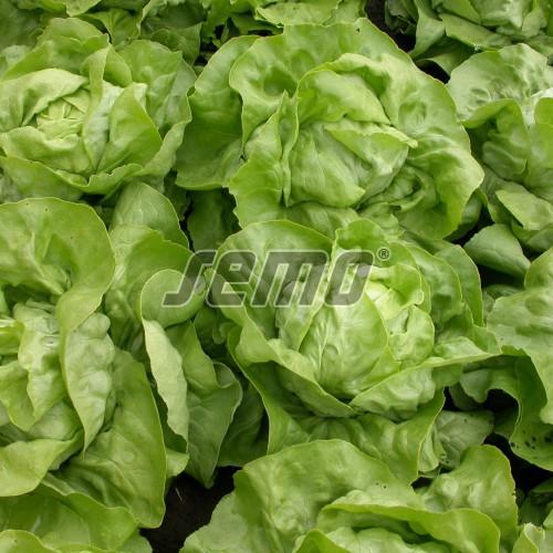 PROFI, Zelenina SEMO - Salát hlávkový Merkurion, p3831 (Lactuca sativa L. var.capitata L.)