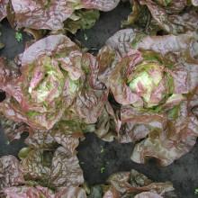 PROFI, Zelenina SEMO - Salát hlávkový Červánek, p3837 (Lactuca sativa L. var.capitata L.)