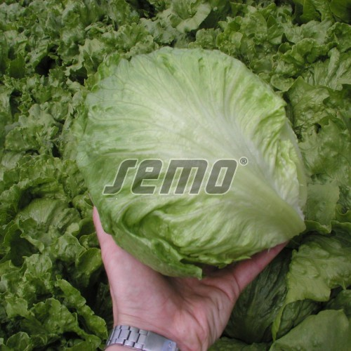 PROFI, Zelenina SEMO - Salát hlávkový Maximo, p3855 (Lactuca sativa L. var.capitata L.)