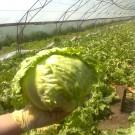 PROFI, Zelenina SEMO – Salát hlávkový Maximo, p3855