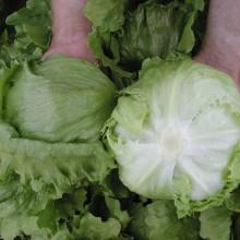 PROFI, Zelenina SEMO - Salát hlávkový Miniko, p3856 (Lactuca sativa L. var.capitata L.)