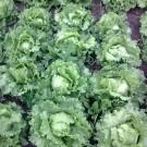 PROFI, Zelenina SEMO – Salát hlávkový Miniko, p3856