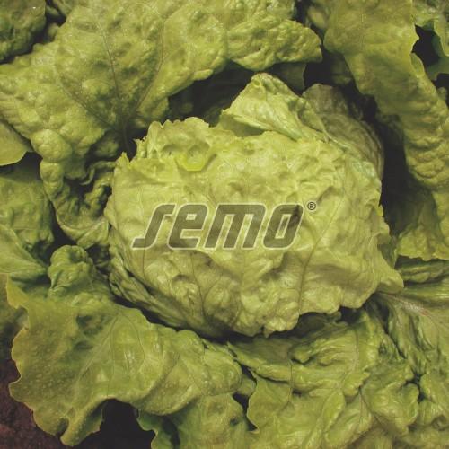PROFI, Zelenina SEMO - Salát hlávkový Ledano, p3857 (Lactuca sativa L. var.capitata L.)