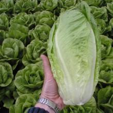 PROFI, Zelenina SEMO - Salát římský Gelbus, p3891 (Lactuca sativa L.)
