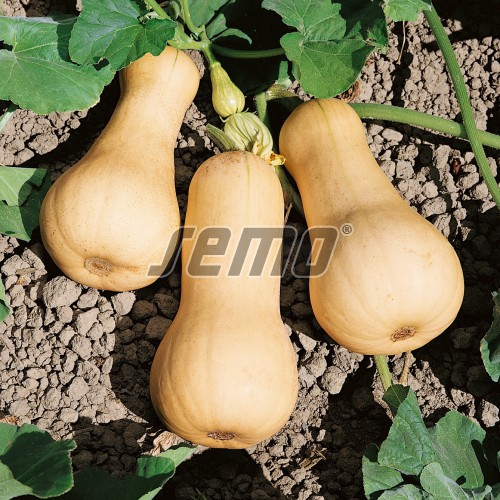 PROFI, Zelenina SEMO - Tykev velkoplodá Butternut, p4074 (Cucurbita moschata Duch. ex Poir.)